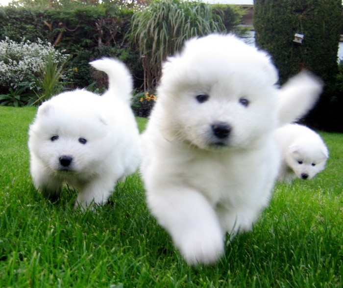 samoyed-puppies-ready-for-a-new-home-20130221123800 Samoyed Is a Fluffy, Gorgeous and Perfect Companion Dog