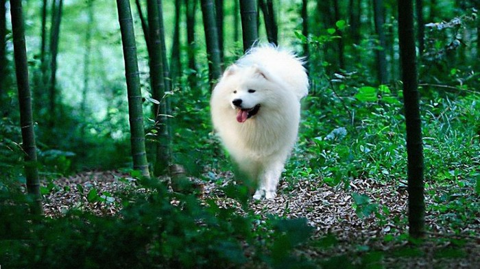 samoyed-puppy-41789-hd-wallpapers-background Samoyed Is a Fluffy, Gorgeous and Perfect Companion Dog