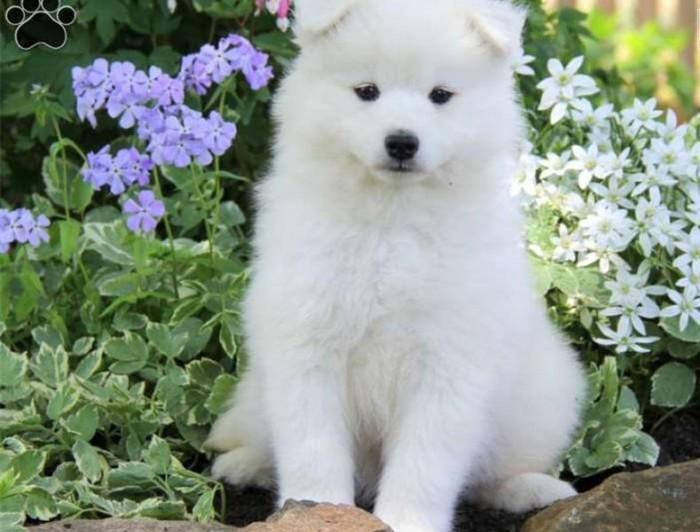 samoyed-puppy-picture-68c13bcc-6f34-458b-89fe-8ec69313debb Samoyed Is a Fluffy, Gorgeous and Perfect Companion Dog