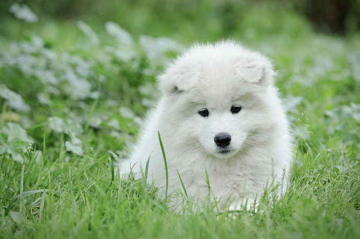 samoyed-puppy-portrait-waldek-dabrowski Samoyed Is a Fluffy, Gorgeous and Perfect Companion Dog
