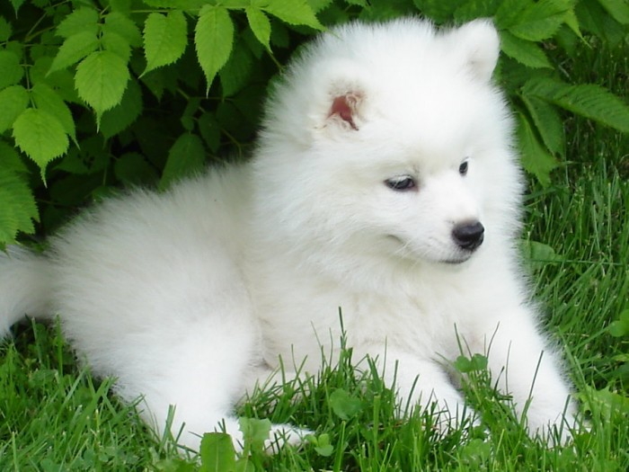 samoyed_cortina_by_shaylane-d31juhx Samoyed Is a Fluffy, Gorgeous and Perfect Companion Dog