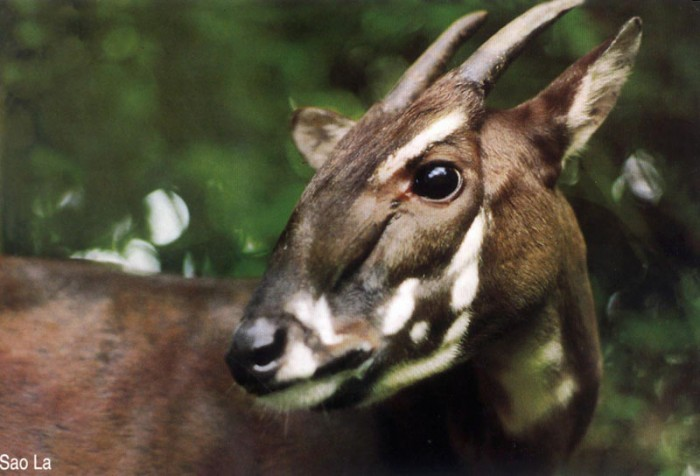 saola-0909 A New Photo of Saola Renews Our Hope for Its Recovery