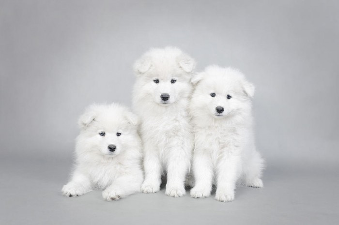 three-little-samoyed-puppies-portrait-waldek-dabrowski Samoyed Is a Fluffy, Gorgeous and Perfect Companion Dog