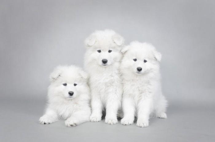 three-little-samoyed-puppies-portrait-waldek-dabrowski Samoyed Is a Fluffy, Gorgeous and Perfect Companion Dog