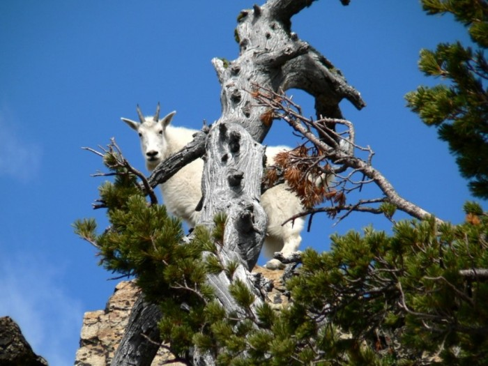 tree-climbing-goat-morocco_-thesuiteworld Extraordinary and Weird Goats that Can Fly & Stand on the Branches