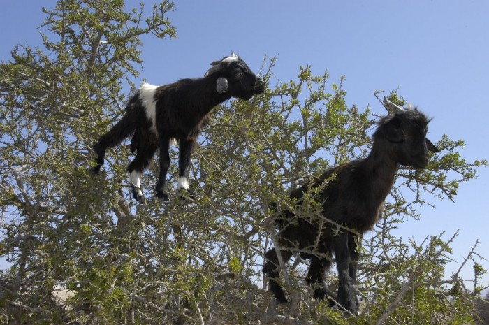 tree-climbing-goats-morocco-thesuiteworld Extraordinary and Weird Goats that Can Fly & Stand on the Branches
