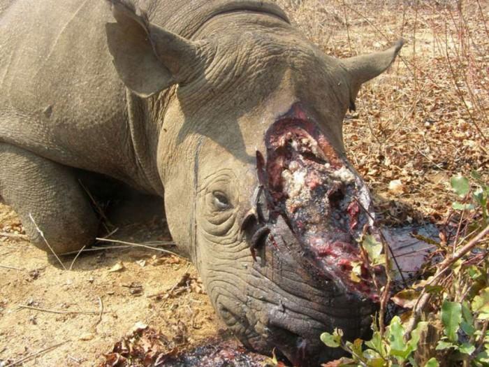 tumblr_m28dy87D4C1qzmt17o1_1280 The Western Black Rhinoceros Declared Extinct Because of Heavy Poaching