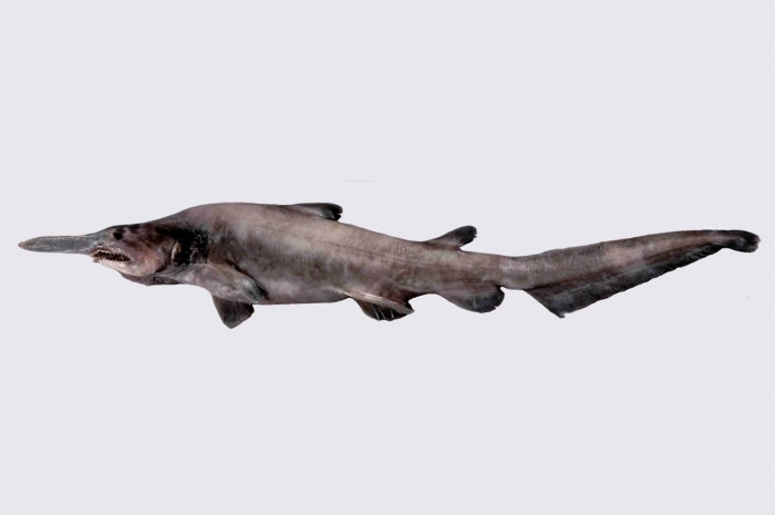 tumblr_ms4os4fm721rprj1yo1_1280 Have You Ever Seen Such a Scary & Goblin Shark with Two Faces?