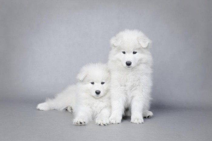 two-little-samoyed-puppies-portrait-waldek-dabrowski Samoyed Is a Fluffy, Gorgeous and Perfect Companion Dog