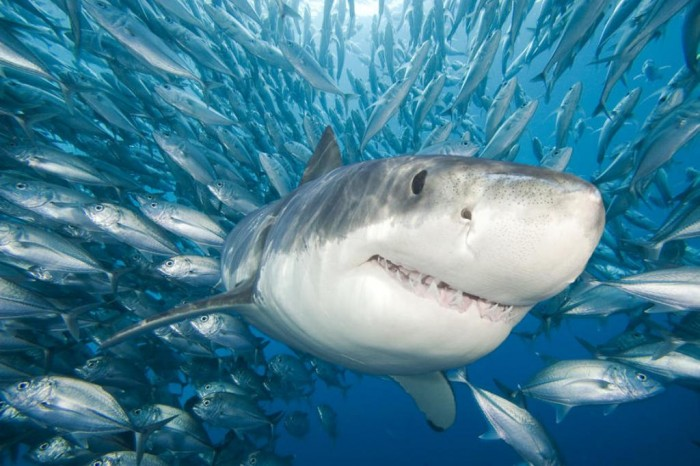 3-great-white-shark-dave-fleetham Is It True: Great White Sharks Should Keep Swimming all the time in Order Not to Drown?