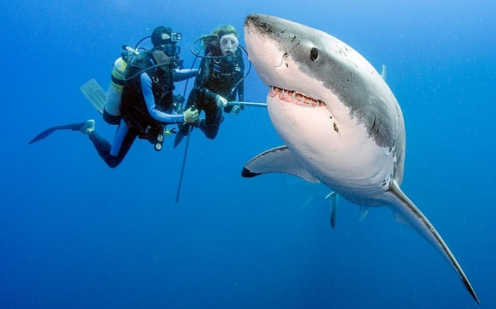 77 Is It True: Great White Sharks Should Keep Swimming all the time in Order Not to Drown?