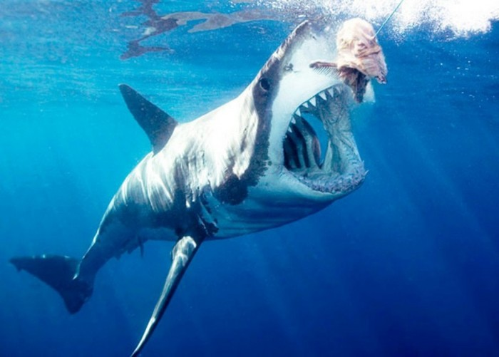 Great-White-Shark-2 Is It True: Great White Sharks Should Keep Swimming all the time in Order Not to Drown?