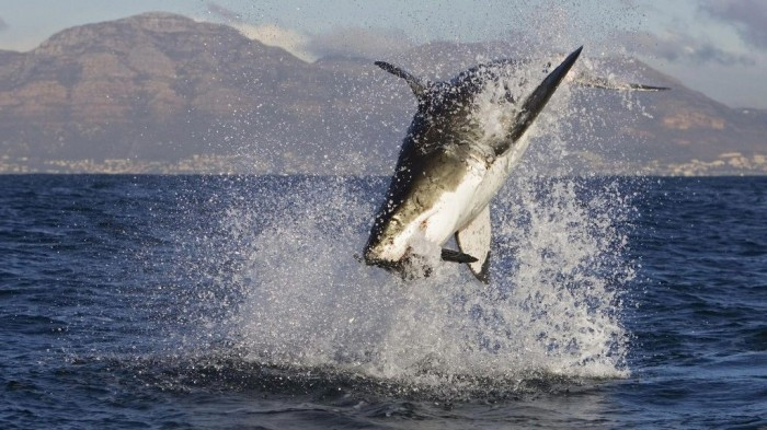 Great_white_shark_attacks-wallpaper Is It True: Great White Sharks Should Keep Swimming all the time in Order Not to Drown?