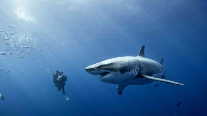 Oceans_wallpapers_473 Is It True: Great White Sharks Should Keep Swimming all the time in Order Not to Drown?