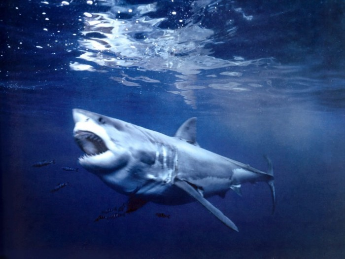 great-white-shark-guadalupe-island-mexico Is It True: Great White Sharks Should Keep Swimming all the time in Order Not to Drown?