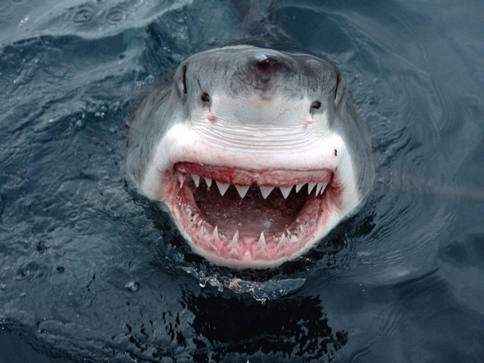 great-white-shark-smile Is It True: Great White Sharks Should Keep Swimming all the time in Order Not to Drown?