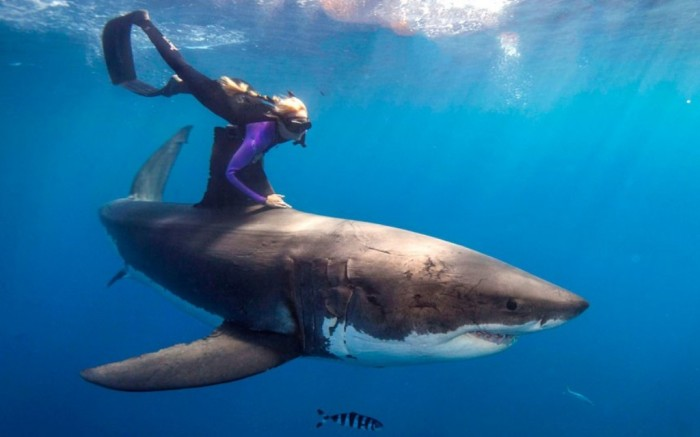 shark-freediver_2500078k Is It True: Great White Sharks Should Keep Swimming all the time in Order Not to Drown?