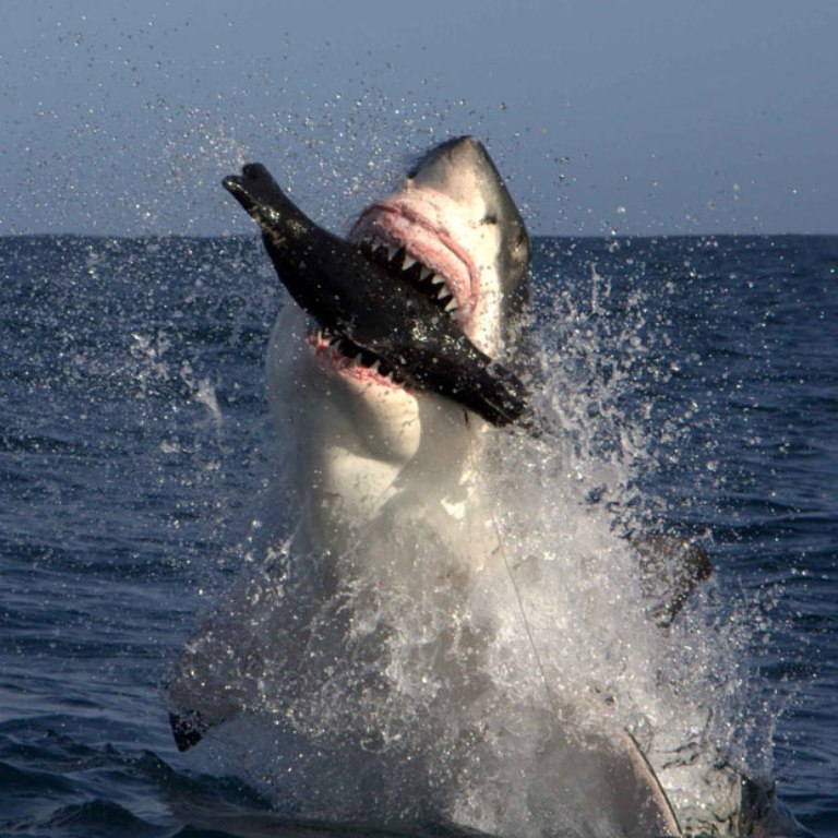 shark-seal-lure_1890783i Is It True: Great White Sharks Should Keep Swimming all the time in Order Not to Drown?
