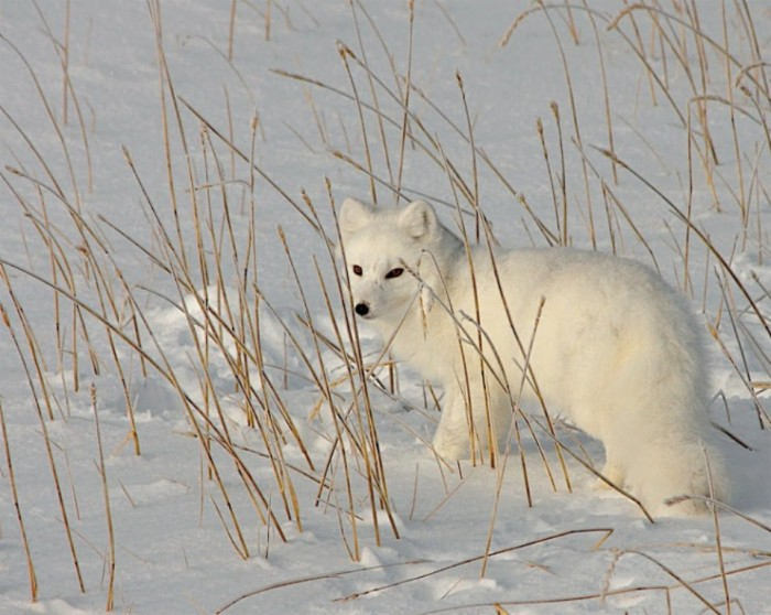 108850_Arctic_Fox_Settlemeyer-760x607 Not Just Animals! They Are Real & Incredible Thieves