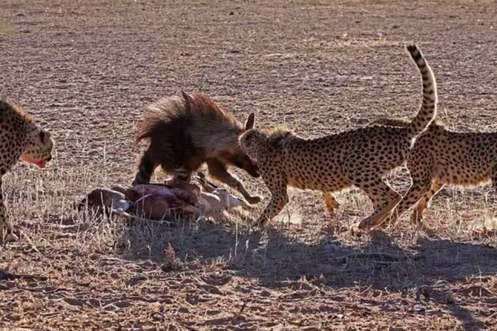 2013-12-05-the-hunger-games-cheetah-jackal-brown-hyena-13_GalleryLarge Not Just Animals! They Are Real & Incredible Thieves