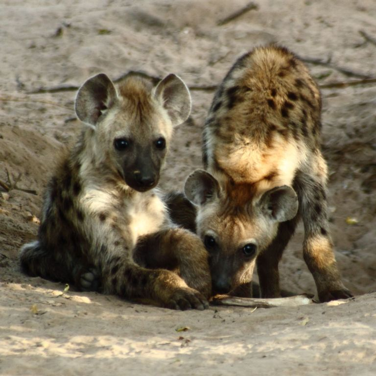2667_Spotted_Hyena_Cubs Not Just Animals! They Are Real & Incredible Thieves