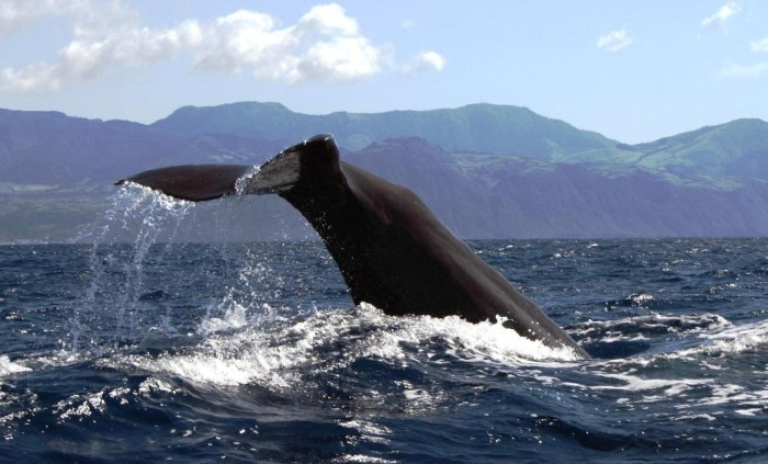 721copyrigth-terra-azul-azores-whale-watching-22-sperm-whale-tale13335500333 Not Just Animals! They Are Real & Incredible Thieves