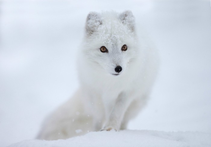 Animals___Wolves_and_Foxes__039969_ Not Just Animals! They Are Real & Incredible Thieves