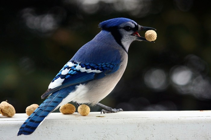 Blue_Jay_with_peanut_December_2010 Not Just Animals! They Are Real & Incredible Thieves