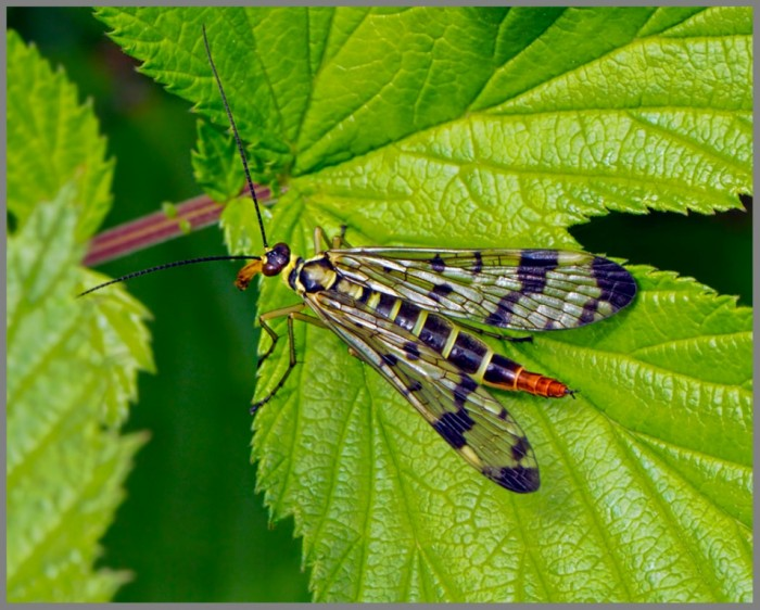 Female-Scorpion-Fly-Panorpa-germanica-Monk-Wood-18-June-2013-w Not Just Animals! They Are Real & Incredible Thieves