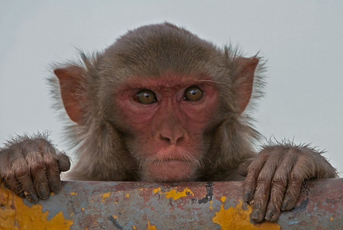Rhesus_Macaque_Macaca_mulatta_in_Kinnarsani_WS_AP_W_IMG_5792 Not Just Animals! They Are Real & Incredible Thieves
