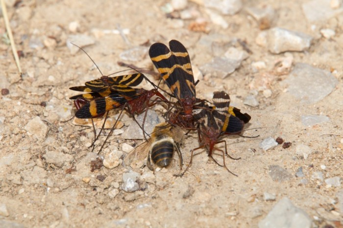 Scorpionfly-0009 Not Just Animals! They Are Real & Incredible Thieves
