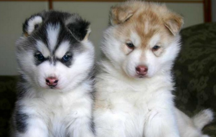 Siberian-Husky-Puppies Not Just Animals! They Are Real & Incredible Thieves