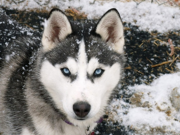 Siberian-Husky-dog-breed-eyes Not Just Animals! They Are Real & Incredible Thieves