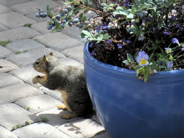 Squirrel_blueberry2_05252013 Not Just Animals! They Are Real & Incredible Thieves