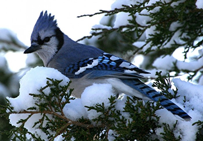 blue-jay-bird-6114-hd-wallpaper-backgrounds Not Just Animals! They Are Real & Incredible Thieves