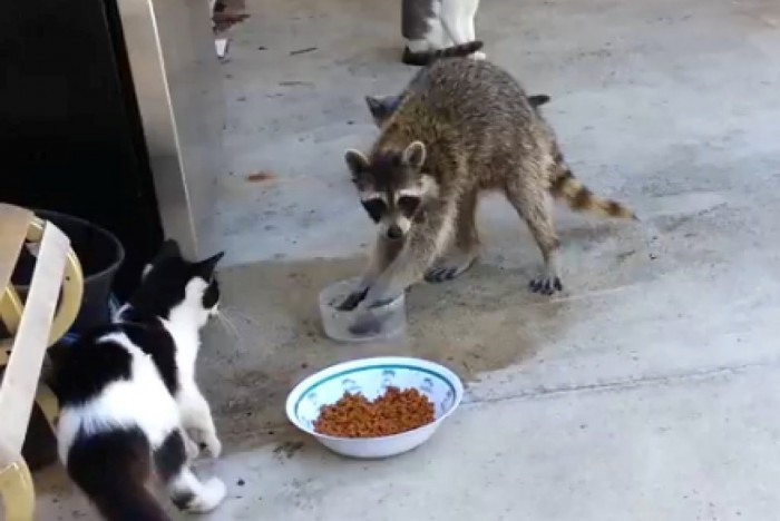 o-RACCOON-STEALS-CAT-FOOD-facebook Not Just Animals! They Are Real & Incredible Thieves
