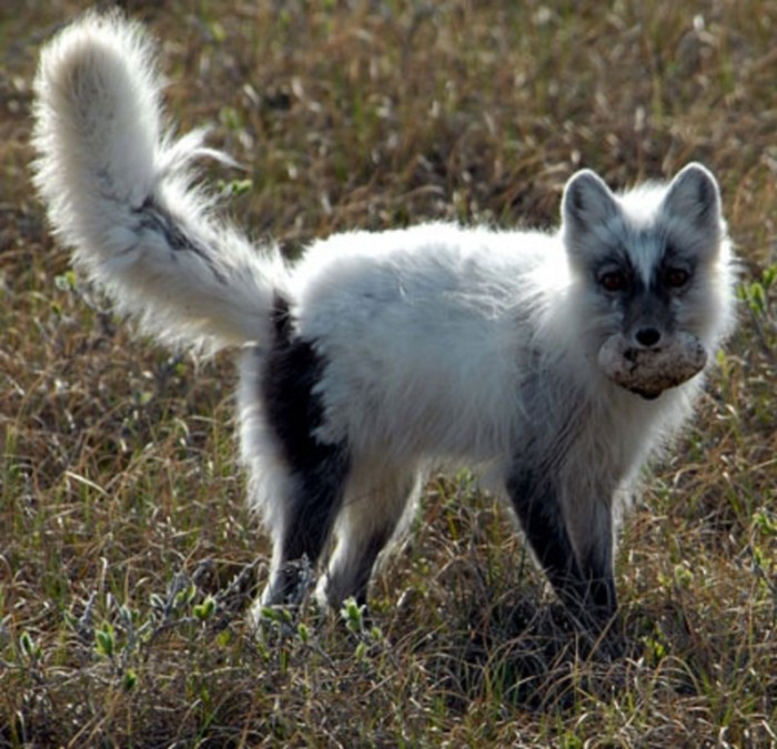shedding-arctic-fox Not Just Animals! They Are Real & Incredible Thieves
