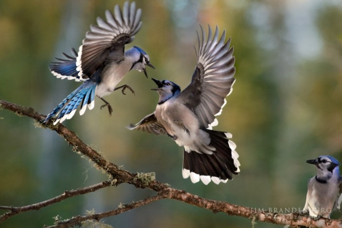 sp26-blue-jay-battle Not Just Animals! They Are Real & Incredible Thieves