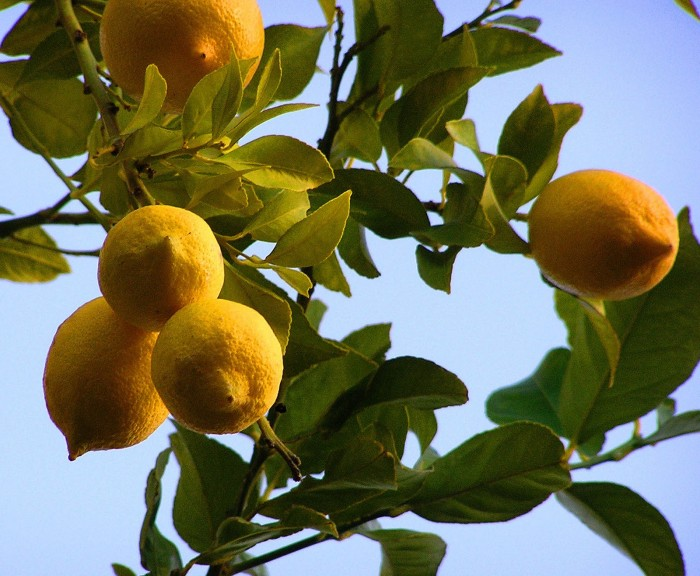 startlivingecofriendly-uses-of-lemon-peels 9 Awesome Uses Of Lemon In Your Home