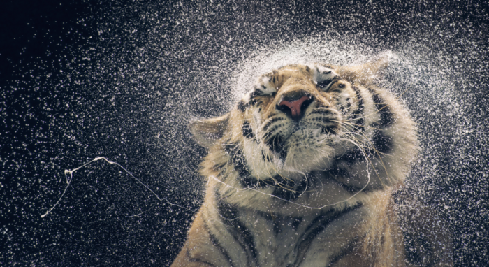 british-photographer-tim-flach-created-a-series-called-more-than-humans-including-this-stunning-picture-of-a-tiger-drying-off How to Make a Blog Post Go Viral