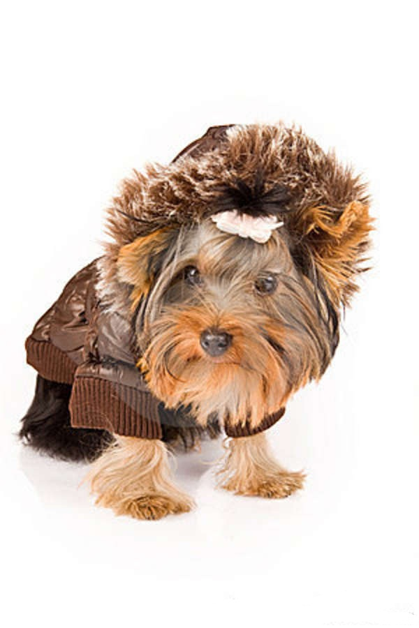 yorkshire-terrier-brown-winter-jacket-dog-18073204 Top 35 Winter Clothes for Dogs