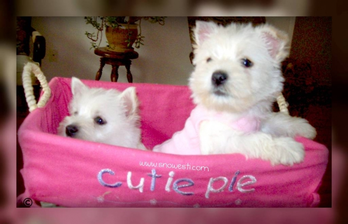 023.103132040 5 Most Hidden Facts About Westie Puppies ... [Exclusive]