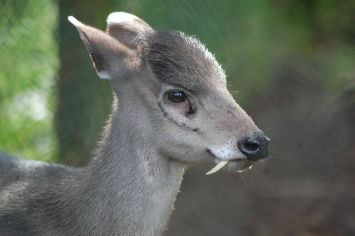 0_aecce_a35b9d10_orig Take a Look at the Scary Vampire Deer before It Disappears