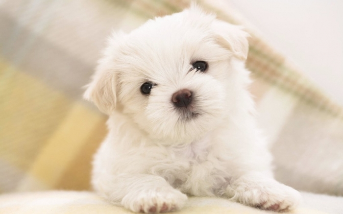 1579280 5 Most Hidden Facts About Westie Puppies ... [Exclusive]