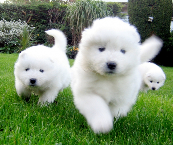 2073731654_ab7983374f Do You Like the Fluffy Samoyed Puppies?