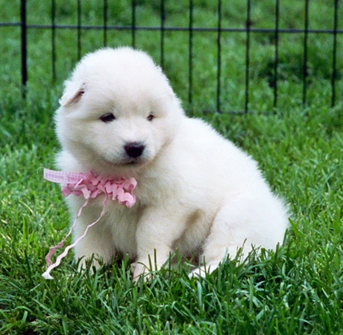 2546888604_597be6090a Do You Like the Fluffy Samoyed Puppies?