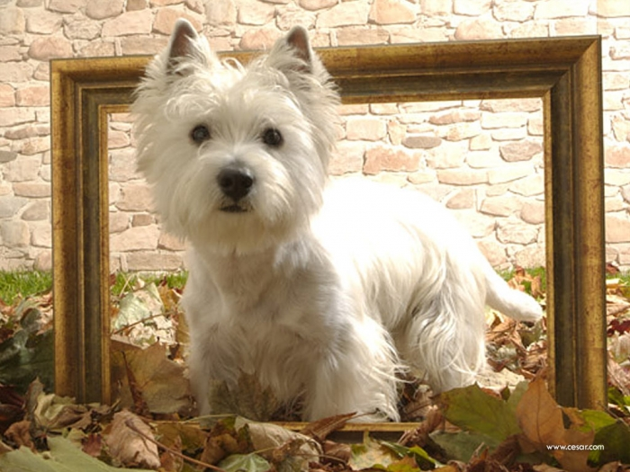 306884 5 Most Hidden Facts About Westie Puppies ... [Exclusive]