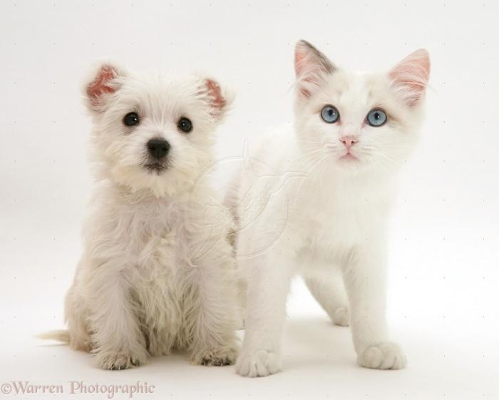 31123-Ragdoll-kitten-with-Westie-pup-white-background 5 Most Hidden Facts About Westie Puppies ... [Exclusive]