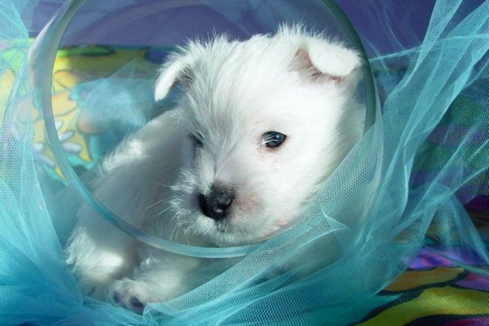 3169df9837ceb294f6e95b34265c8928 5 Most Hidden Facts About Westie Puppies ... [Exclusive]