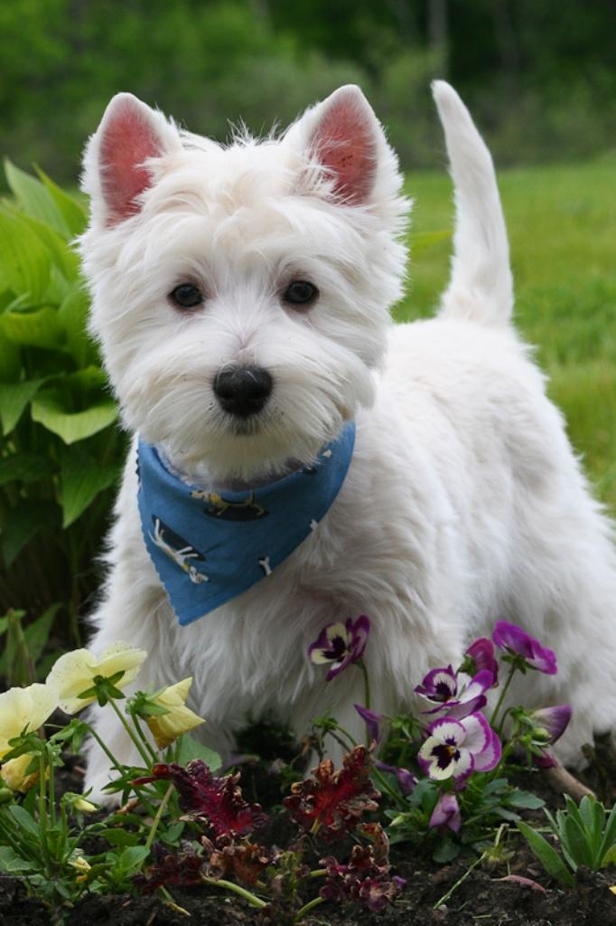 Nancy's Westies - Dundee's Litter of Westie Puppies for Sale Minnesota USA